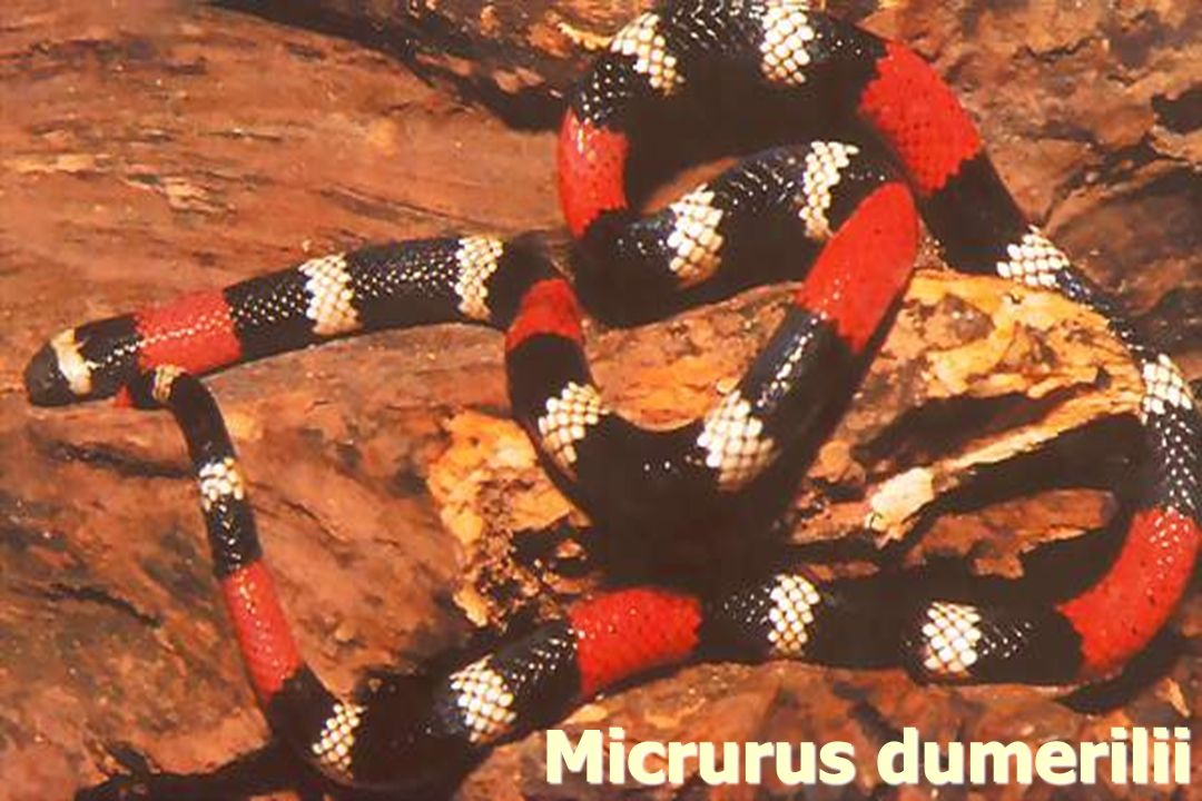 Micrurus dumerilii