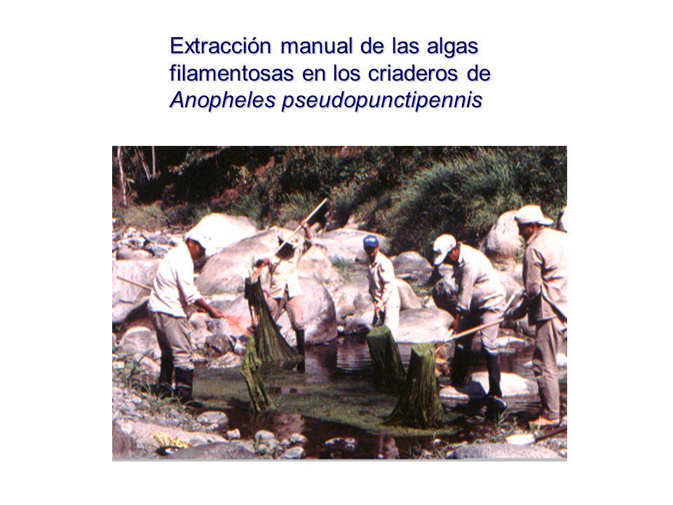 Extracción manual de las algas filamentosas en los criaderos de Anopheles pseudopunctipennis