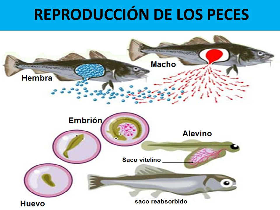La Reproduccion De Los Peces Of Biologia De Peces Ppt Video Online Descargar