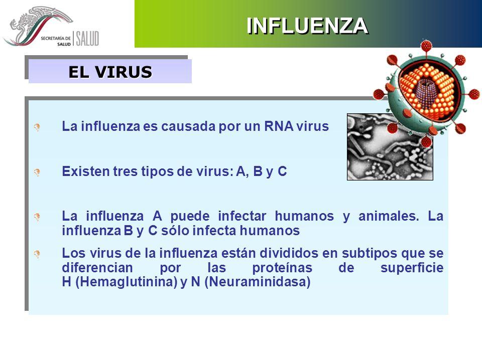 INFLUENZA EL VIRUS La influenza es causada por un RNA virus