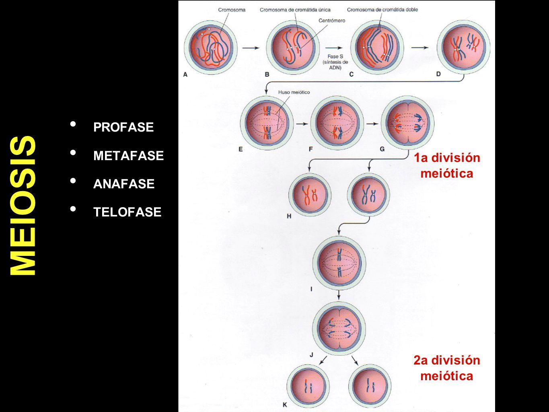MEIOSIS PROFASE METAFASE ANAFASE 1a división meiótica TELOFASE