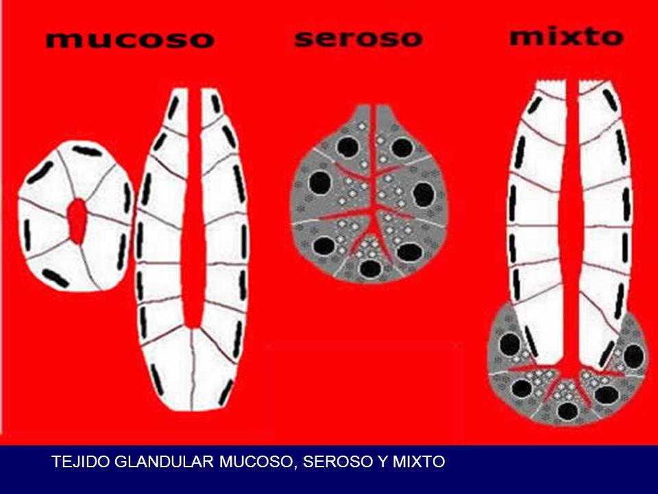 TEJIDO GLANDULAR MUCOSO, SEROSO Y MIXTO
