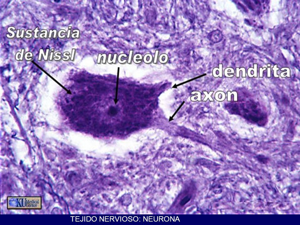 TEJIDO NERVIOSO: NEURONA