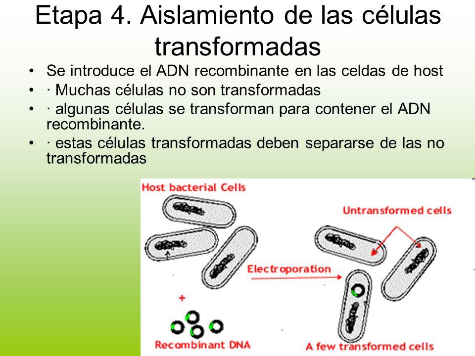 Etapa 4. Aislamiento de las células transformadas