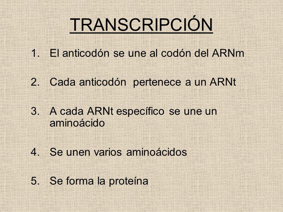 TRANSCRIPCIÓN El anticodón se une al codón del ARNm