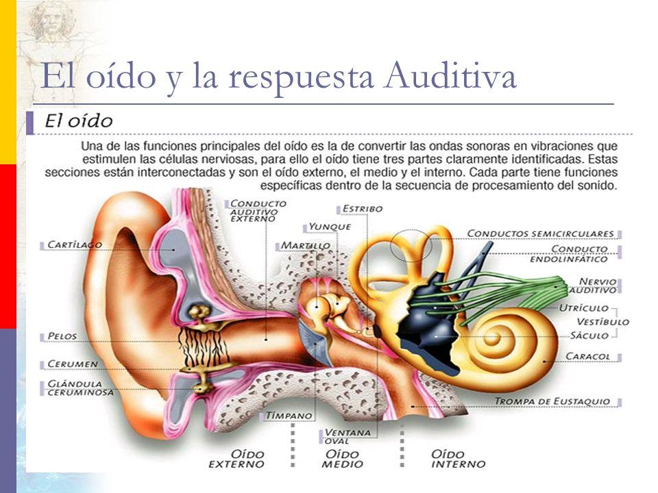 El oído y la respuesta Auditiva