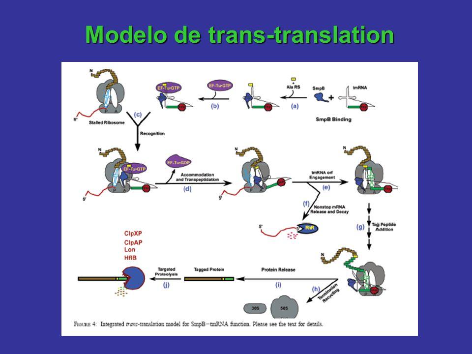 Modelo de trans-translation
