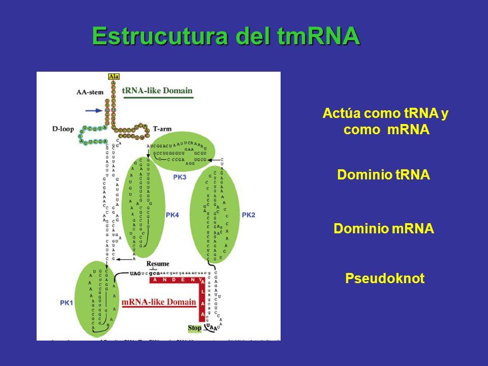 Estrucutura del tmRNA Actúa como tRNA y como mRNA Dominio tRNA