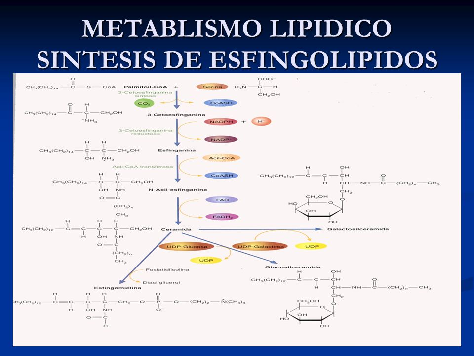 METABLISMO LIPIDICO SINTESIS DE ESFINGOLIPIDOS