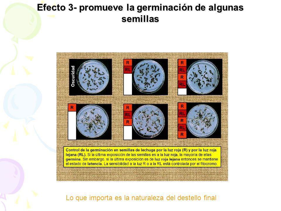 Efecto 3- promueve la germinación de algunas semillas