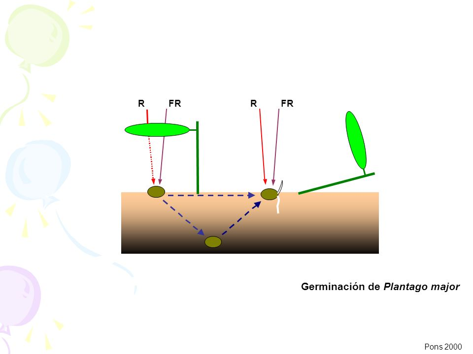 Germinación de Plantago major