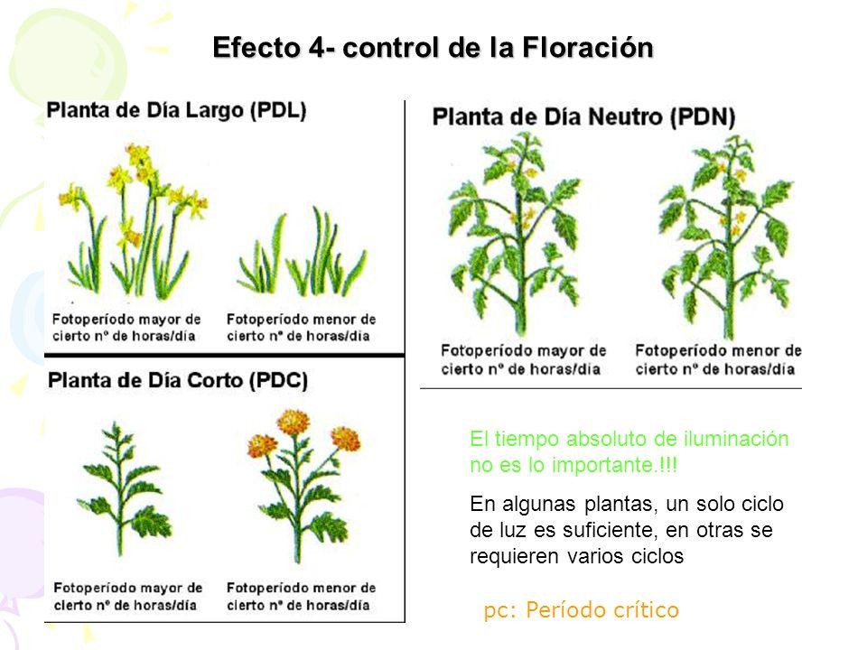 Efecto 4- control de la Floración