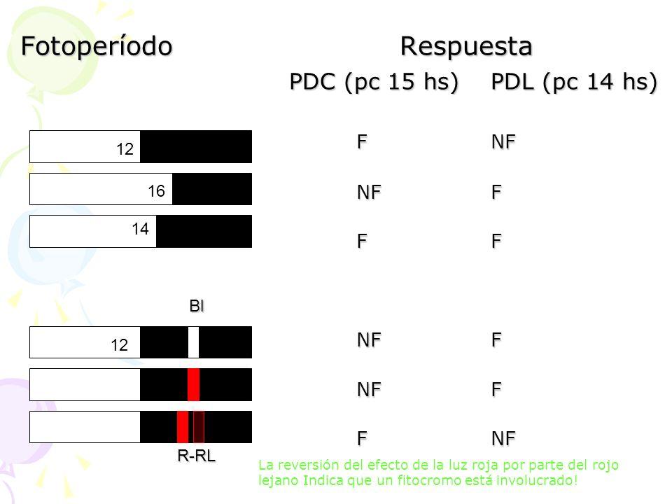 Fotoperíodo Respuesta PDC (pc 15 hs) PDL (pc 14 hs)