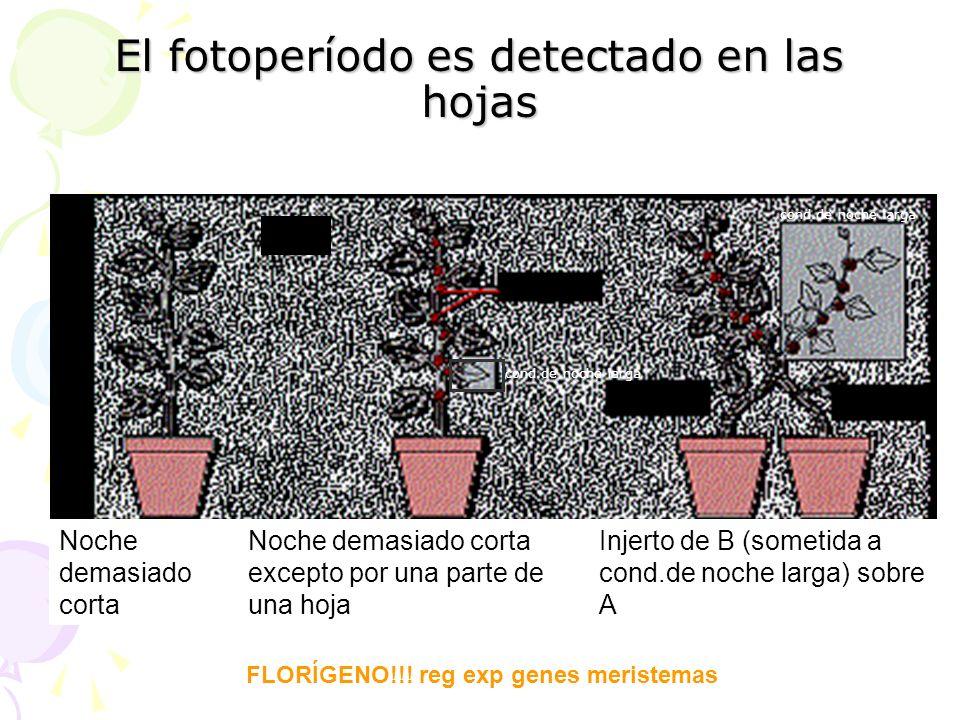 El fotoperíodo es detectado en las hojas