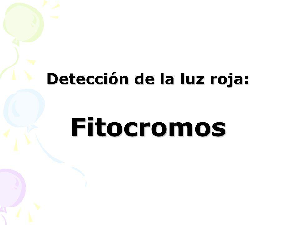 Detección de la luz roja: Fitocromos