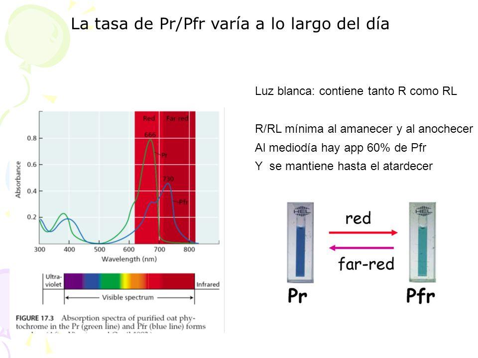 La tasa de Pr/Pfr varía a lo largo del día