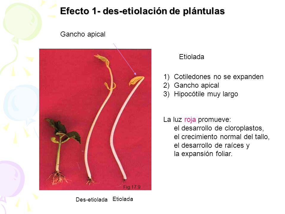 Efecto 1- des-etiolación de plántulas