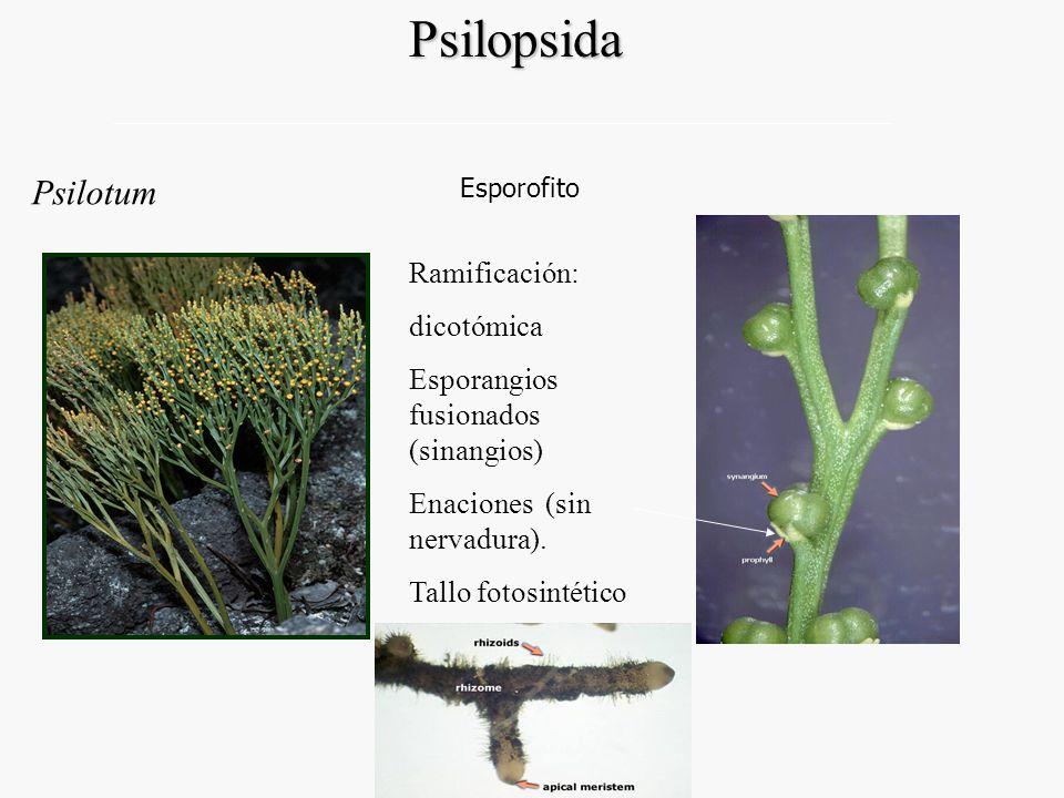 Psilopsida Psilotum Ramificación: dicotómica