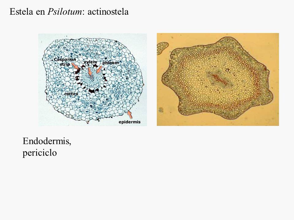 Estela en Psilotum: actinostela
