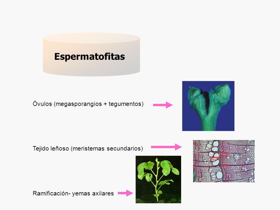 Espermatofitas Óvulos (megasporangios + tegumentos)