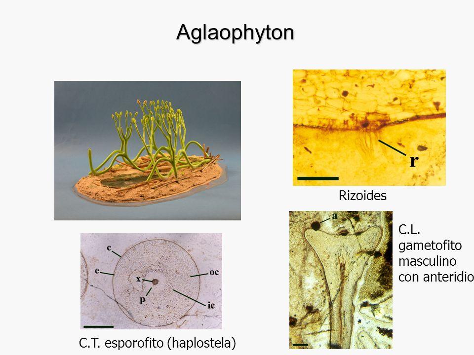 Aglaophyton Rizoides C.L. gametofito masculino con anteridio