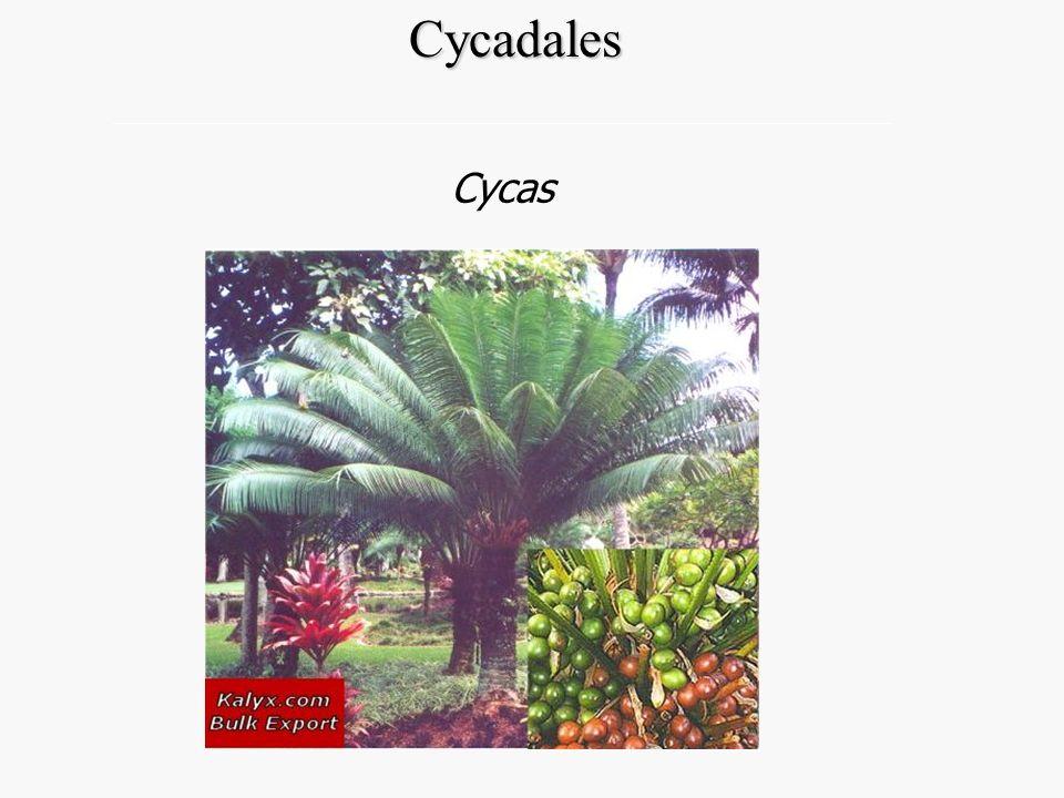 Cycadales Cycas