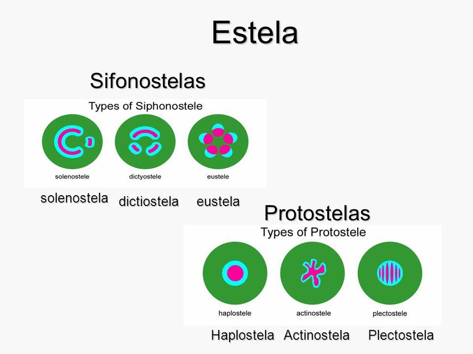 Estela Sifonostelas Protostelas solenostela dictiostela eustela