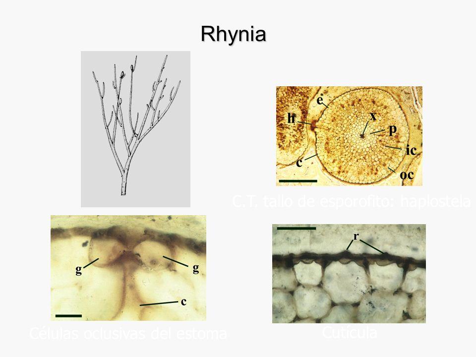 Rhynia C.T. tallo de esporofito: haplostela