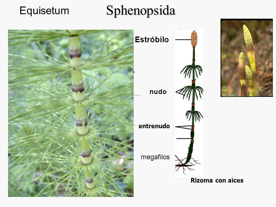 Sphenopsida Equisetum Estróbilo nudo megafilos Estróbilo Ramas