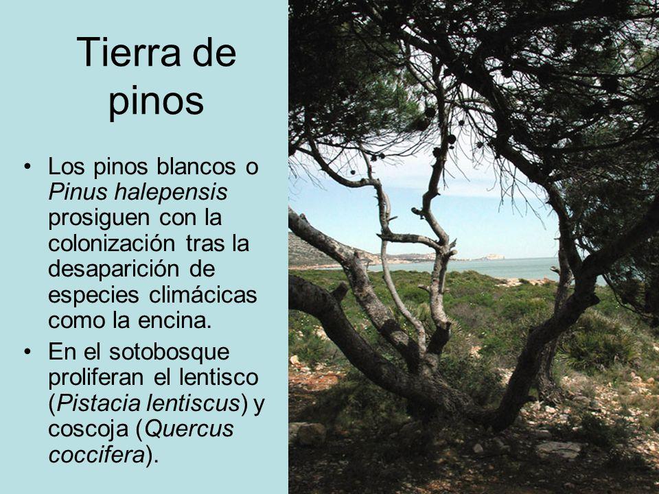 Tierra de pinosLos pinos blancos o Pinus halepensis prosiguen con la colonización tras la desaparición de especies climácicas como la encina.