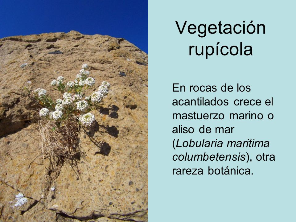 Vegetación rupícolaEn rocas de los acantilados crece el mastuerzo marino o aliso de mar (Lobularia maritima columbetensis), otra rareza botánica.