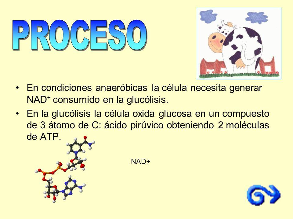 PROCESO En condiciones anaeróbicas la célula necesita generar NAD+ consumido en la glucólisis.