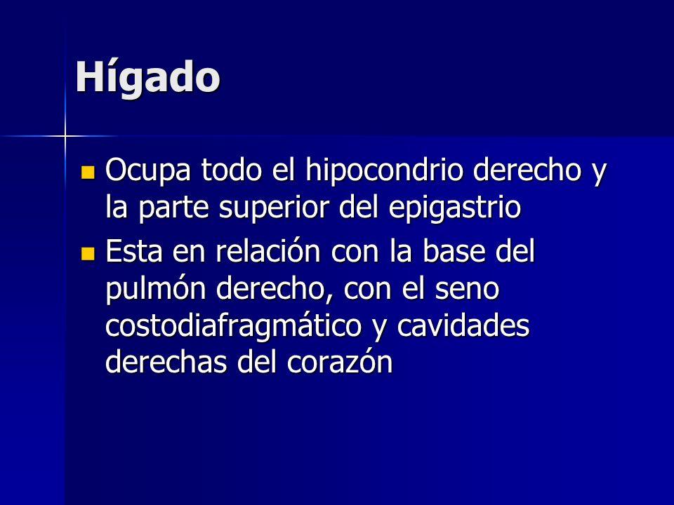 HígadoOcupa todo el hipocondrio derecho y la parte superior del epigastrio.
