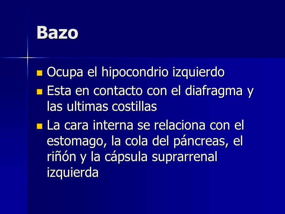 Bazo Ocupa el hipocondrio izquierdo
