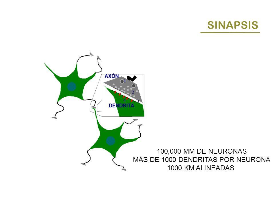 MÁS DE 1000 DENDRITAS POR NEURONA
