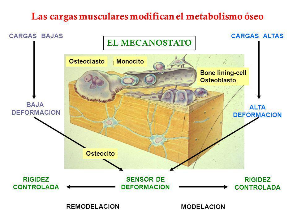 Las cargas musculares modifican el metabolismo óseo