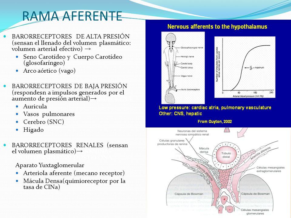 RAMA AFERENTE BARORRECEPTORES DE ALTA PRESIÓN (sensan el llenado del volumen plasmático: volumen arterial efectivo) → ADH.