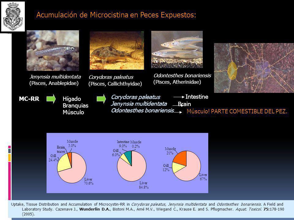 Acumulación de Microcistina en Peces Expuestos:
