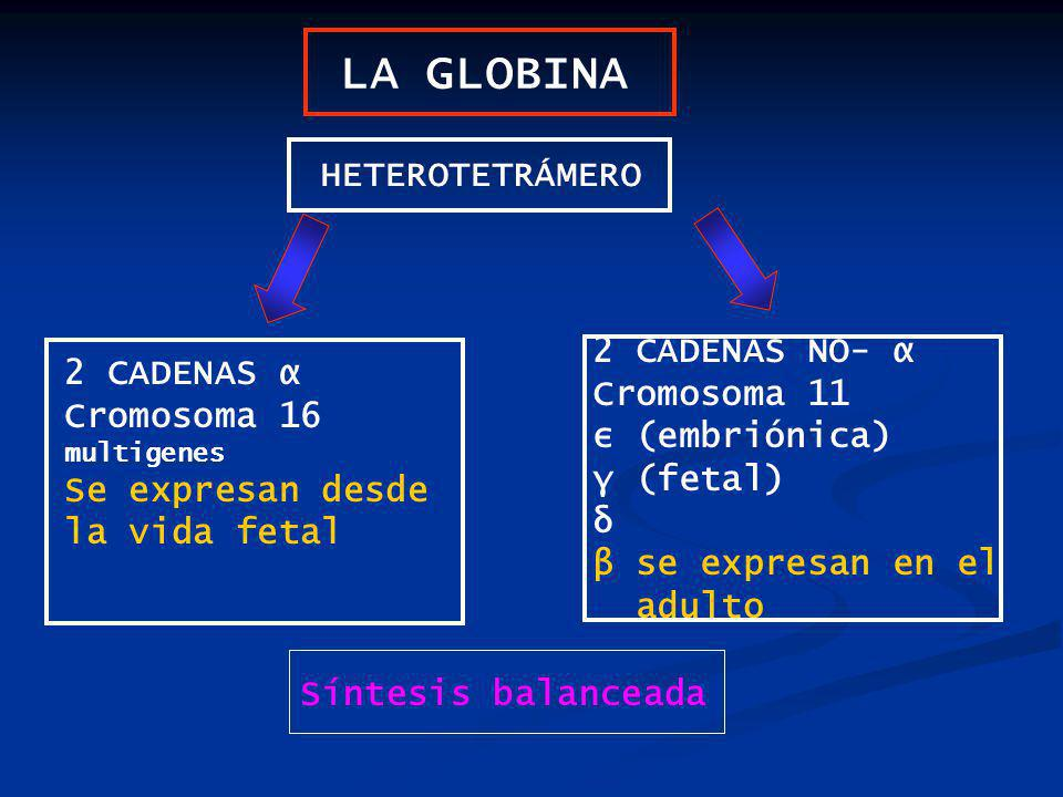 LA GLOBINA HETEROTETRÁMERO 2 CADENAS NO- α 2 CADENAS α Cromosoma 11