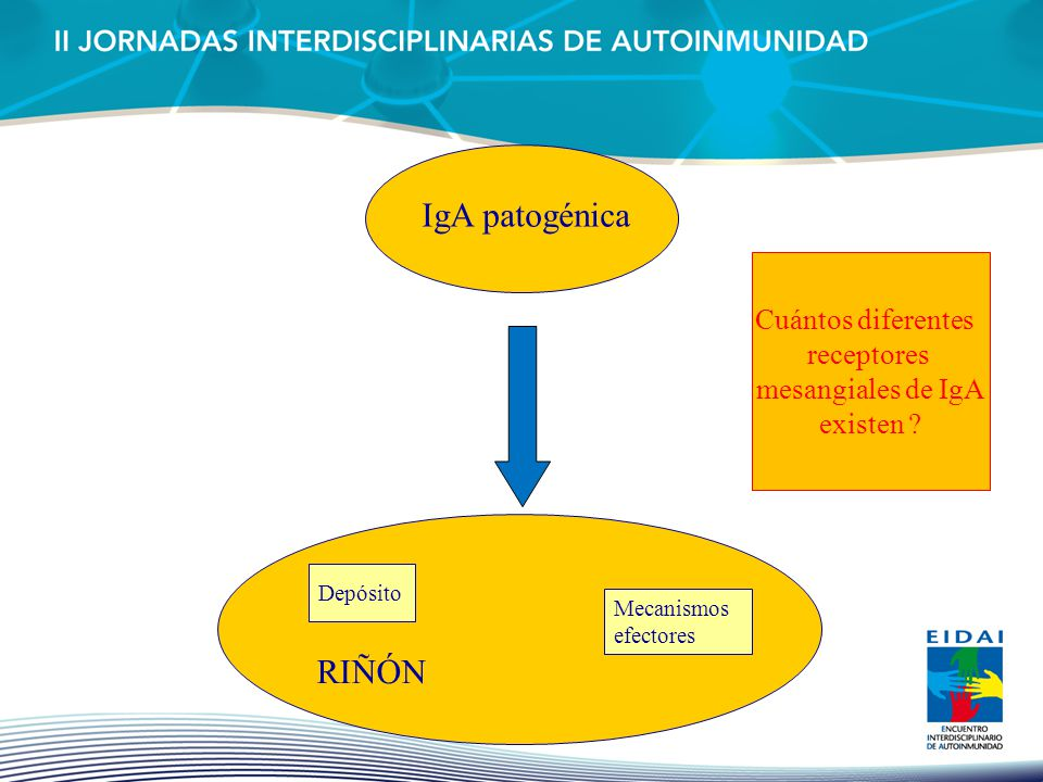IgA patogénica RIÑÓN Cuántos diferentes receptores mesangiales de IgA