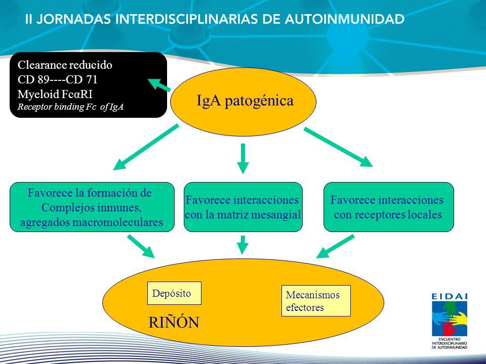 IgA patogénica RIÑÓN Clearance reducido CD 89----CD 71 Myeloid FcαRI
