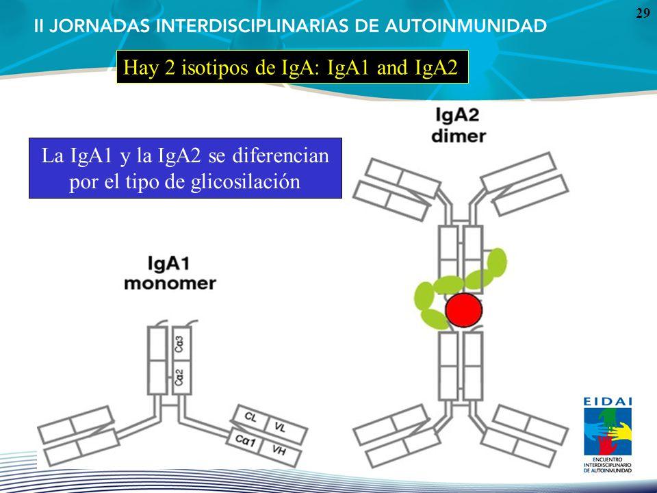 La IgA1 y la IgA2 se diferencian por el tipo de glicosilación