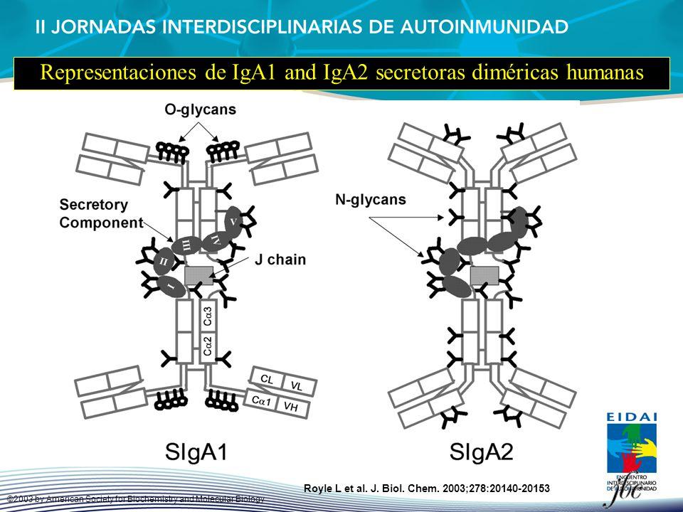 Representaciones de IgA1 and IgA2 secretoras diméricas humanas