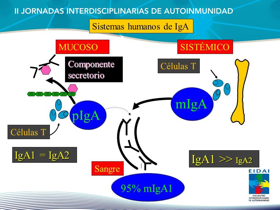 mIgA pIgA IgA1 >> IgA2 IgA1 = IgA2 95% mIgA1