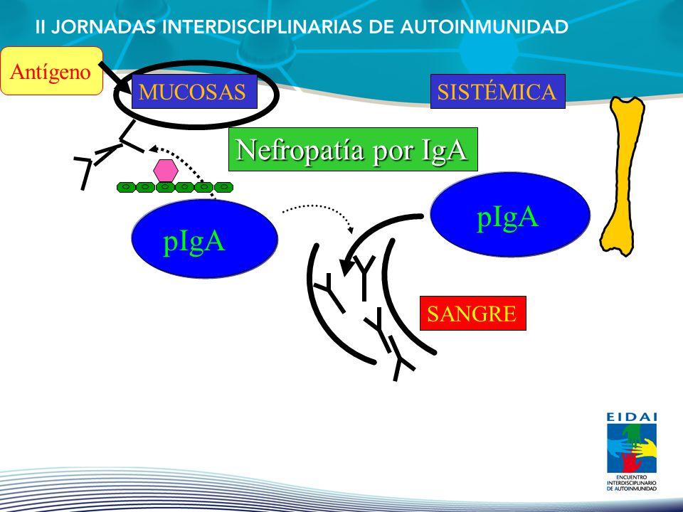 Antígeno MUCOSAL MUCOSAS SISTÉMICA Nefropatía por IgA pIgA pIgA SANGRE