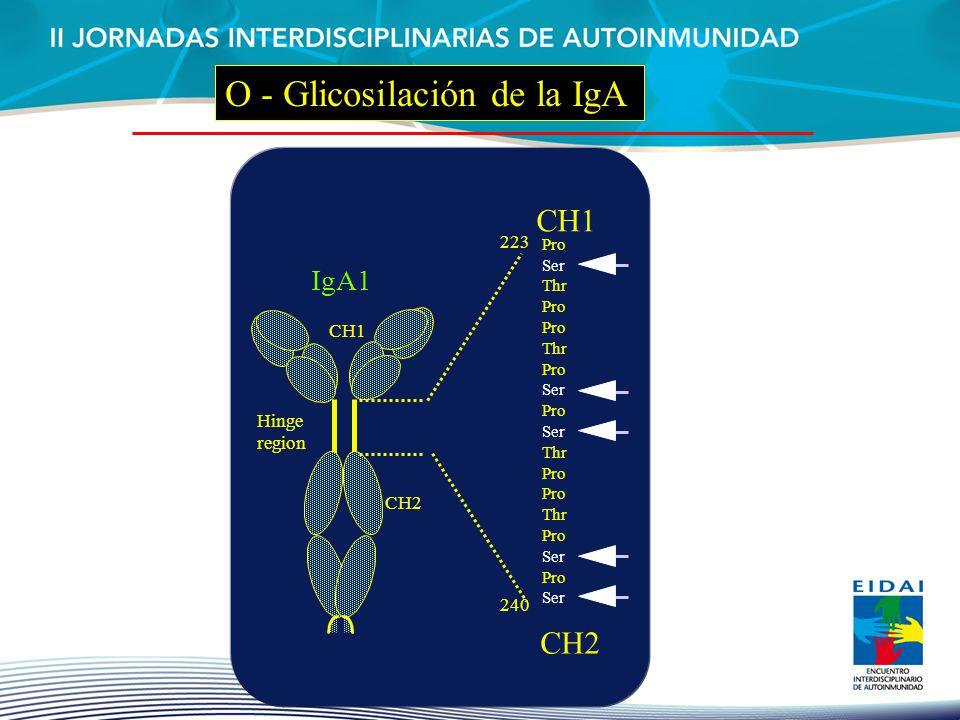 O - Glicosilación de la IgA