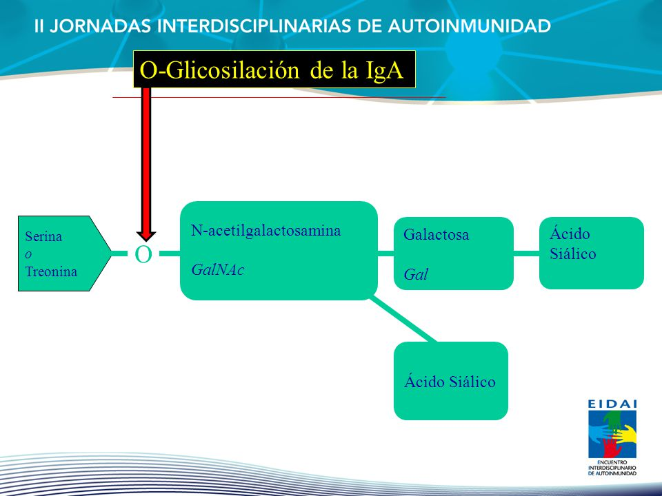 O-Glicosilación de la IgA