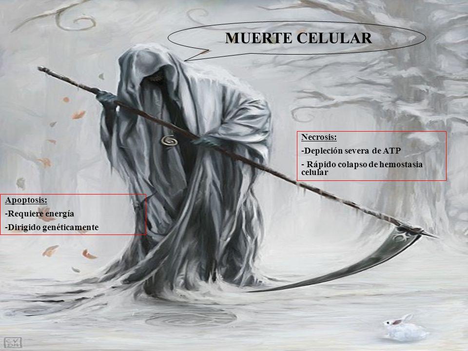 MUERTE CELULAR Necrosis: Depleción severa de ATP