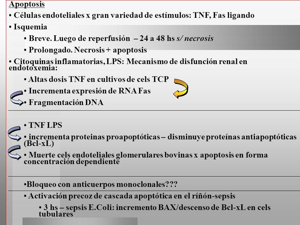 Apoptosis Células endoteliales x gran variedad de estímulos: TNF, Fas ligando. Isquemia. Breve. Luego de reperfusión – 24 a 48 hs s/ necrosis.