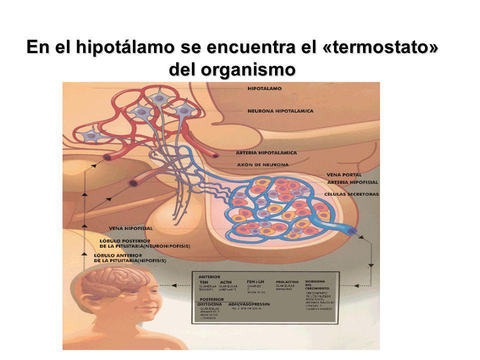 En el hipotálamo se encuentra el «termostato» del organismo